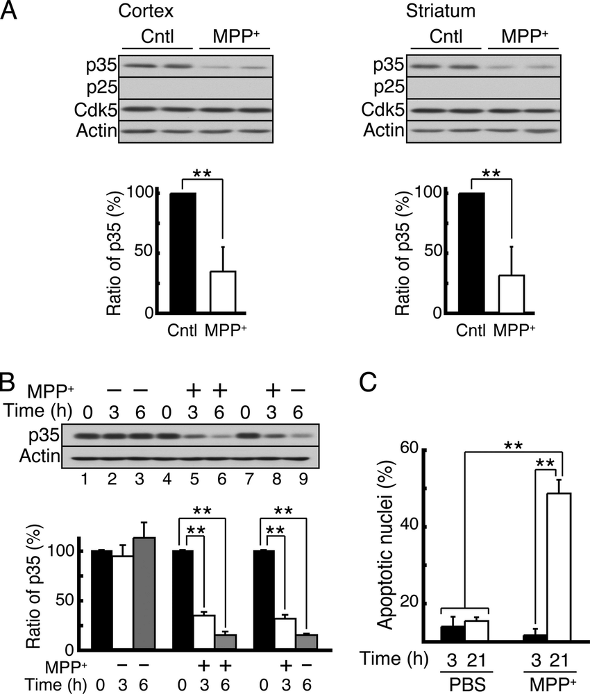 hight resolution of the effect of short term mpp treatment on the in vivo degradation of p35 and cell