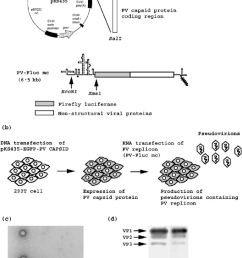 trans encapsidation of a pv replicon encoding firefly luciferase a schematic view of expression vector pks435 upper panel and pv replicon lower panel  [ 850 x 1188 Pixel ]