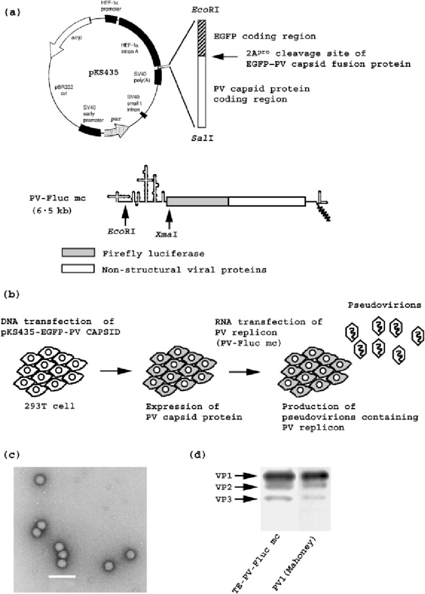 hight resolution of trans encapsidation of a pv replicon encoding firefly luciferase a schematic view of expression vector pks435 upper panel and pv replicon lower panel