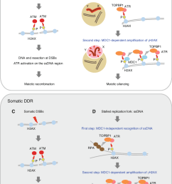 the ddr adapted model in meiotic silencing there are two ddr pathways that underlie [ 734 x 1107 Pixel ]