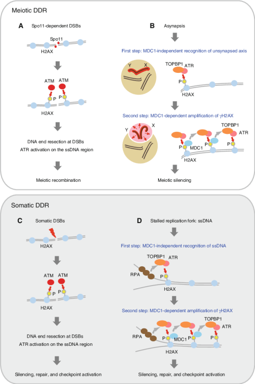 small resolution of the ddr adapted model in meiotic silencing there are two ddr pathways that underlie