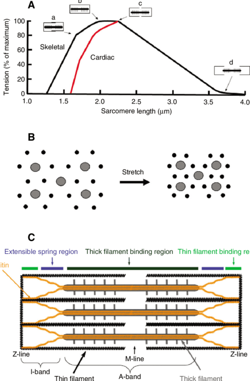 small resolution of  a the sarcomere length sl tension relationship for striated muscle download scientific diagram