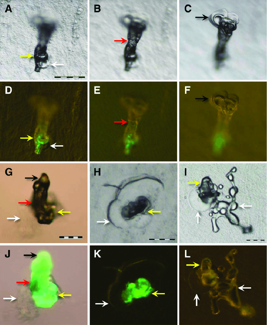medium resolution of stereoscan images of air formed salivary sheaths of glassy winged sharpshooters after feeding for