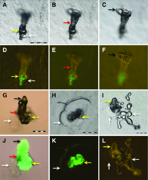 small resolution of stereoscan images of air formed salivary sheaths of glassy winged sharpshooters after feeding for