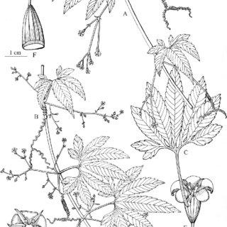 (PDF) Hemsleya kunmingensis (Cucurbitaceae), a new species
