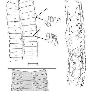 (PDF) Reports of Drawida (Oligochaeta: Moniligastridae