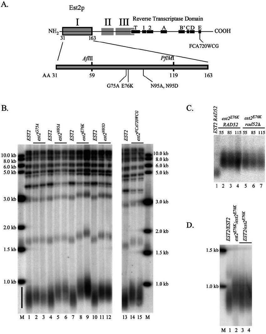Mutations in region I of Est2p cause telomere lengthening