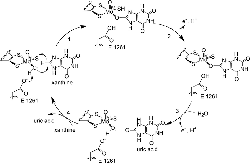 The reaction mechanism for xanthine oxidase. Catalysis is