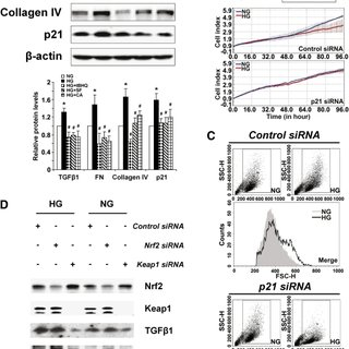 Activation of Nrf2 reduces TGF-β1, ECM deposition, and p21