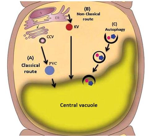 Vacuolar Transportation Routes In Plant Cells Three
