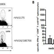 Construction of recombinant vaccinia virus rVVJ16/18E7E6