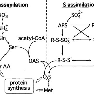 Outline of the nitrogen and sulfur assimilation pathways