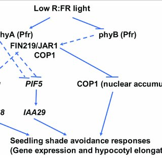 | FIN219 and phyA have a synergistic effect on shade
