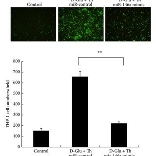 The proposed role of miR-146a in regulating HG/thrombin