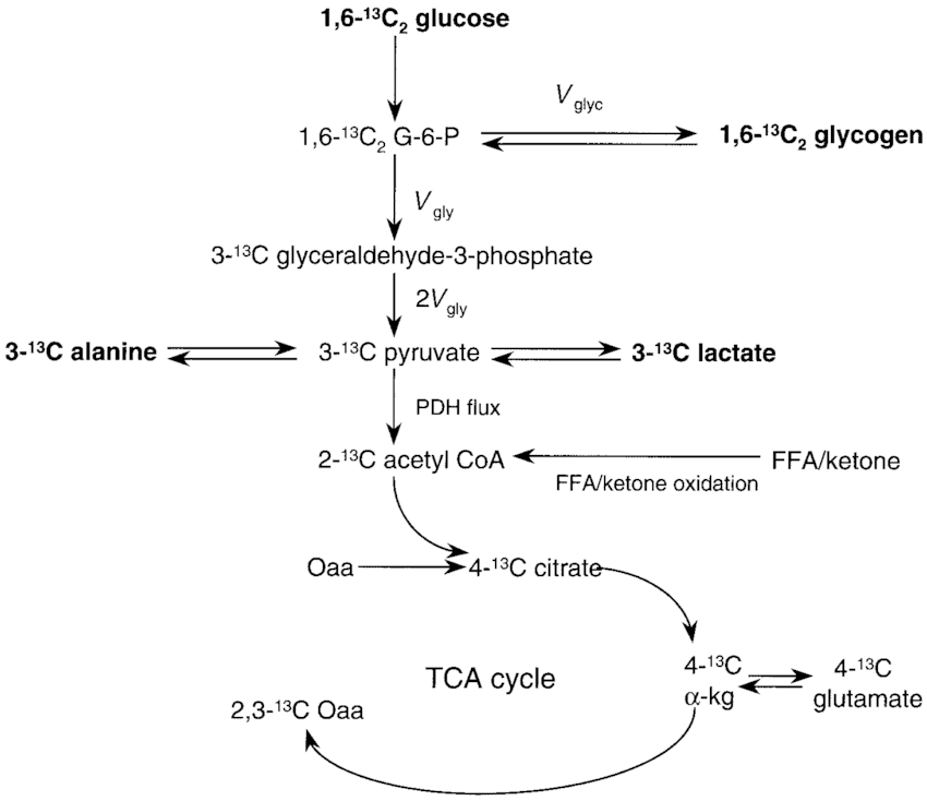 skeletal muscle diagram labeled hot water heater thermostat wiring schematic of metabolite labeling after 1 6 13 c 2 download scientific