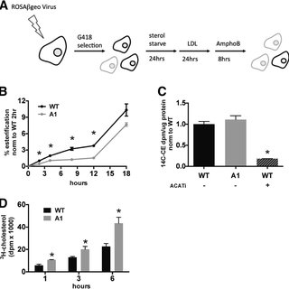 Knockdown of U60 snoRNA recapitulates the A1 cholesterol