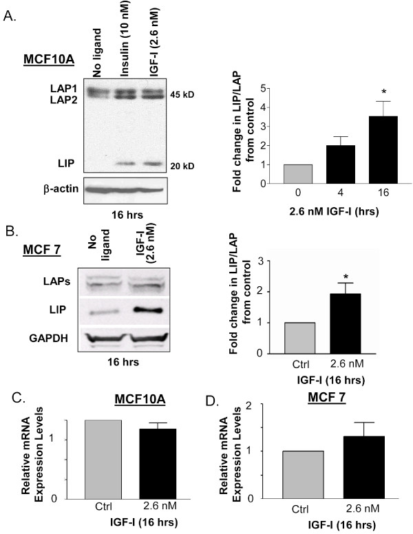 Stimulation of MCF10A and MCF7 cells with IGF-1 leads to