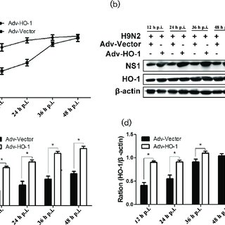 Over-expression of HO-1 promoted H9N2 AIV replication in