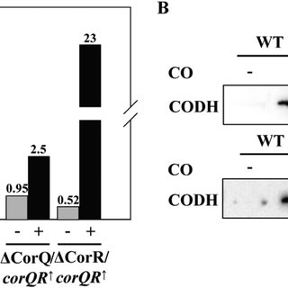 Changes of CODH gene expression at the transcriptional and