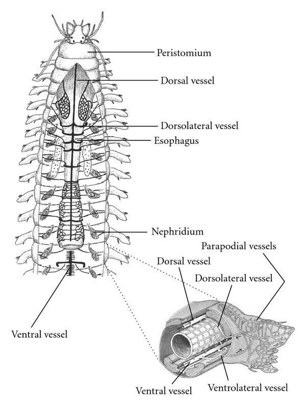 The fine structure of the annelid (Polycheata) circulatory