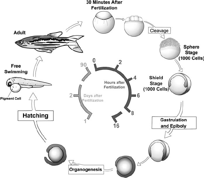 Life cycle of the zebrafish. Zebrafish develop rapidly