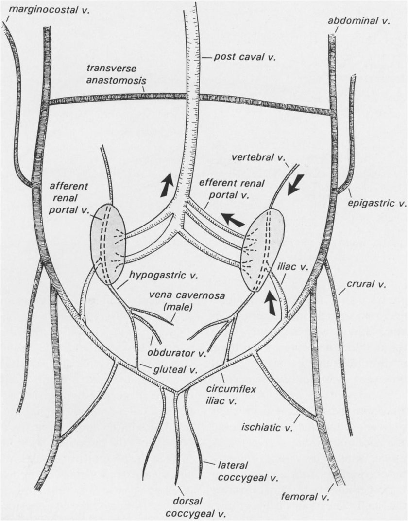 Renal portal system of the red-eared slider (dorsal view