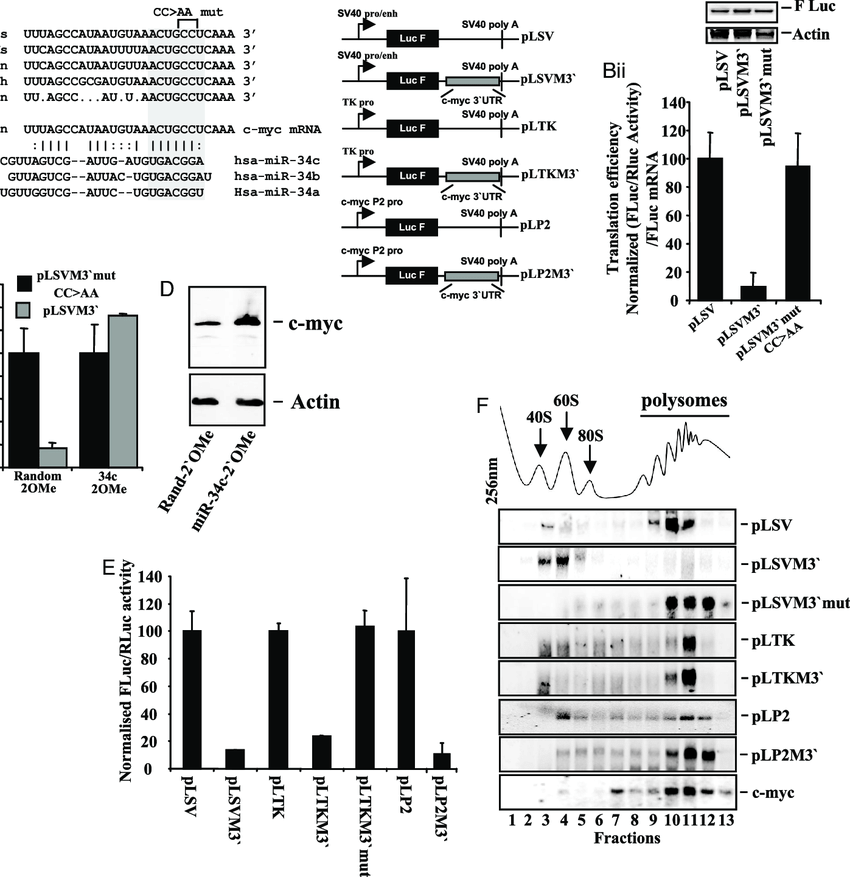 c-myc mRNA translation is repressed by miR-34c at a