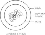 Hepadnaviridae: Hepatitis B Virus and the Delta Virus (PDF