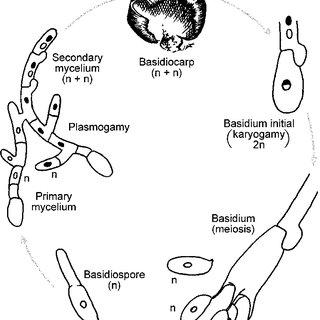 (PDF) The mycology of the Basidiomycetes