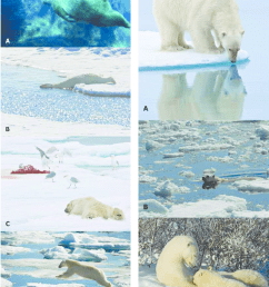 additional polar bear behaviors and associated movements a standing still hunting at [ 850 x 1135 Pixel ]