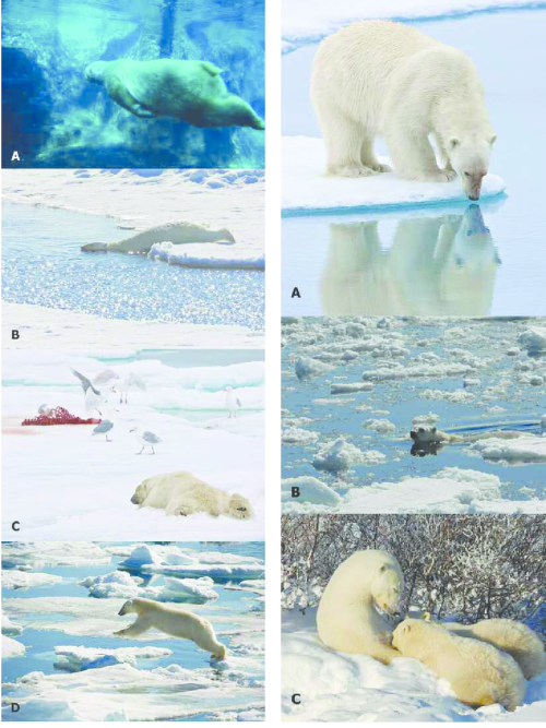 small resolution of additional polar bear behaviors and associated movements a standing still hunting at