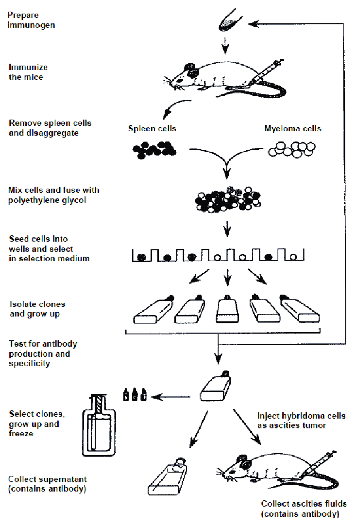 Schematic diagram for production of monoclonal antibodies