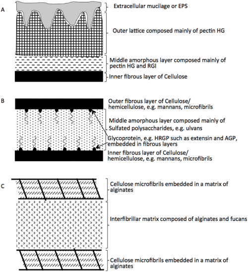small resolution of schematic representation of algal cell walls the cell wall composition differs between various algal groups 43 within the charophyta a the wall is