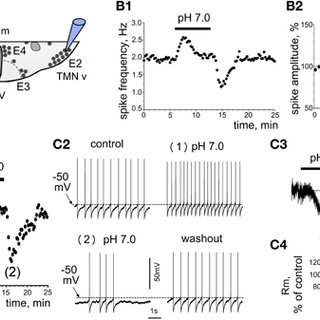 Mouse TMN neurons resemble those of the rat but hardly