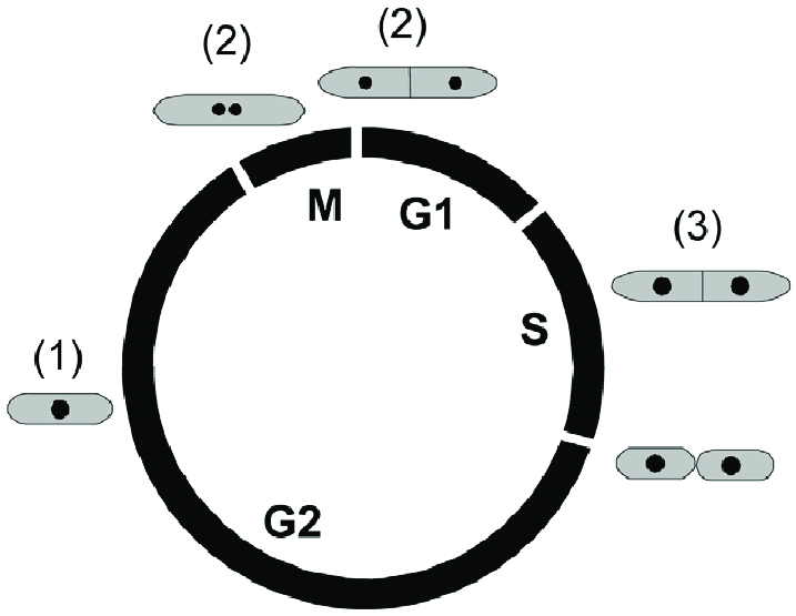 Schematic representation of the S. pombe cell cycle. The