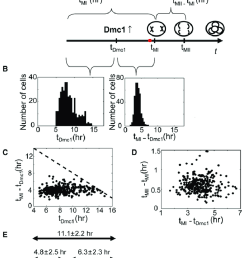 distinct phases of meiosis have uncorrelated duration onset time of early meiosis genes dominates precommitment [ 850 x 1377 Pixel ]