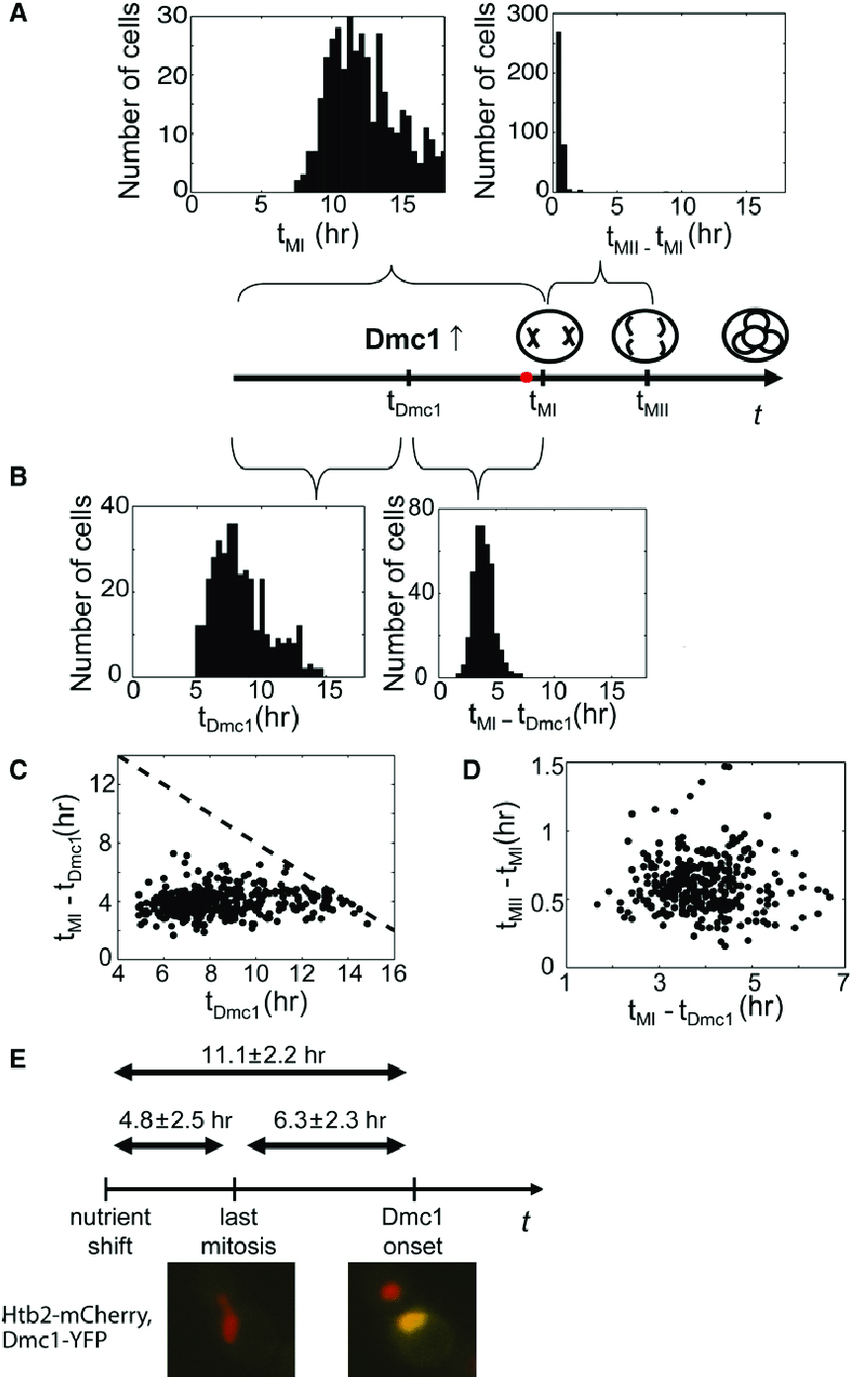 medium resolution of distinct phases of meiosis have uncorrelated duration onset time of early meiosis genes dominates precommitment