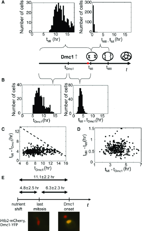 small resolution of distinct phases of meiosis have uncorrelated duration onset time of early meiosis genes dominates precommitment