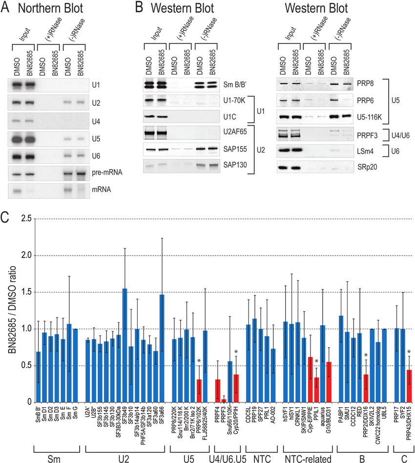 hight resolution of  a ninety minute in vitro splicing reactions of biotin labeled ad2 pre mrna containing either dmso or 20 m bn82685 were incubated with streptavidin coated