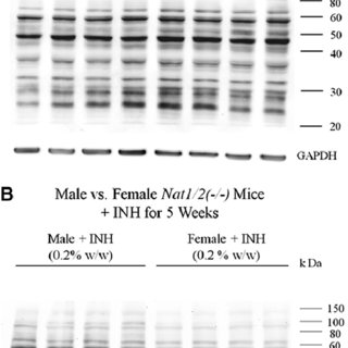 Schedule for immunization of mice with hepatic protein