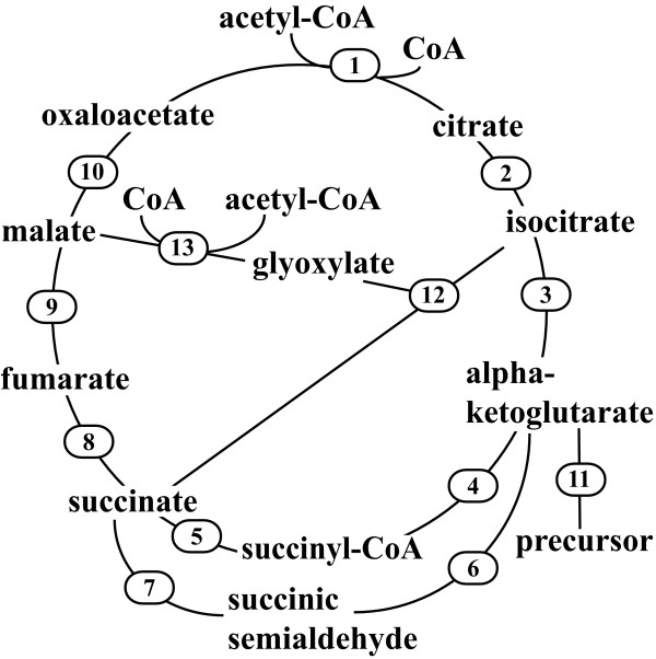 TCA cycle and glyoxylate bypass reactions considered in E