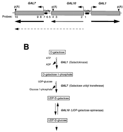 diagram of the gal gene cluster in s cerevisiae a the three gal genes grey boxes and their transcriptional orientation small arrows are indicated  [ 850 x 1053 Pixel ]
