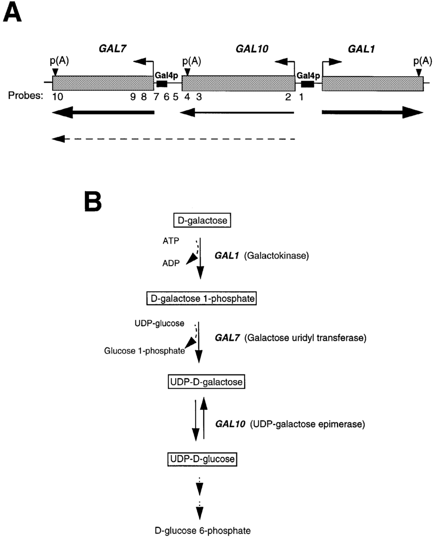 hight resolution of diagram of the gal gene cluster in s cerevisiae a the three gal genes grey boxes and their transcriptional orientation small arrows are indicated
