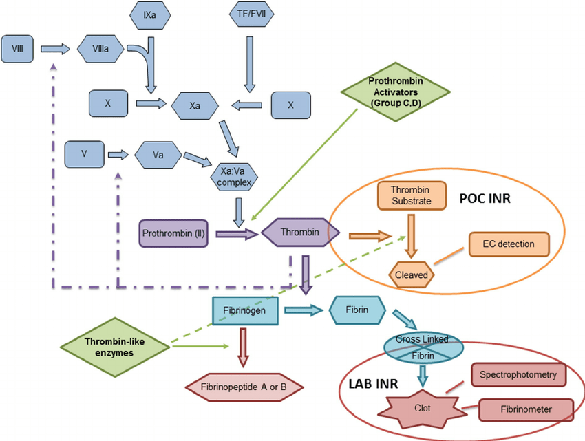A schematic representation of the clotting pathway and the ...