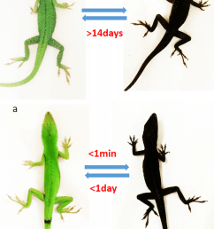 a ndp msh induced pigmentation on the lizard left before download scientific diagram [ 850 x 1288 Pixel ]