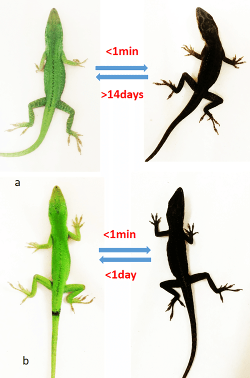 small resolution of  a ndp msh induced pigmentation on the lizard left before download scientific diagram