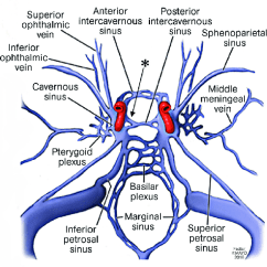 Human Vascular Anatomy Diagram Simple Room Wiring Artwork Depicting The Cavernous Sinus And Its Connective Network. The... | Download Scientific ...