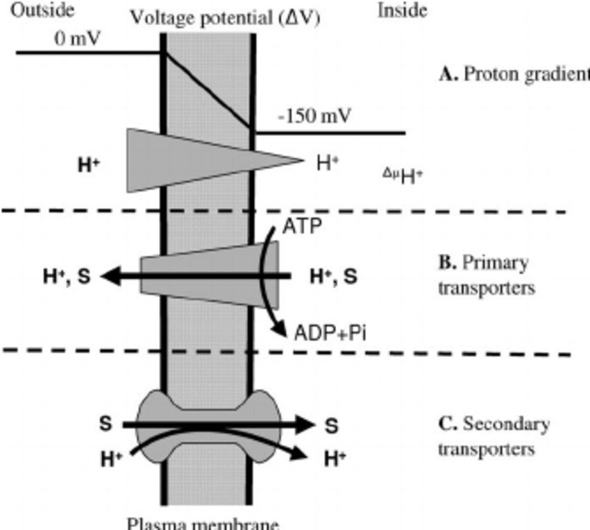 Electrochemical potential and transport mechanisms of a
