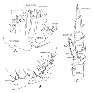Candacia truncata male. A-dorsal; B-lateral; C-part of