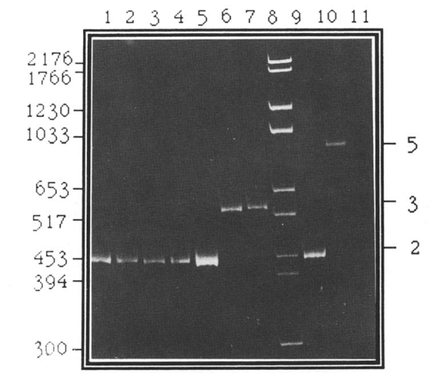 Pcr Amplification Of The Tandem 132 Bp Repeats In Mdv I Dna Of Pathogenic Isolates Passaged In Vitro In Comparison With The Repeats In Cloned Bumhi H And